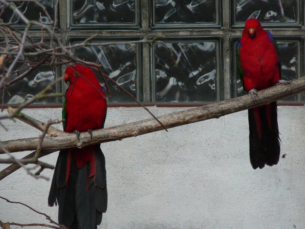 papoušek amboinský